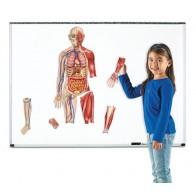 Ciało człowieka - magnetyczne ilustracje - produkt z tej samej kategorii