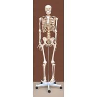 Szkielet człowieka 180 cm - modele anatomiczne