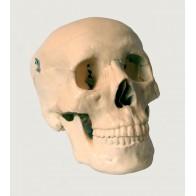 Model anatomiczny czaszki człowieka 3 cz