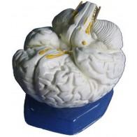 Model anatomiczny mózgu 2- częściowy