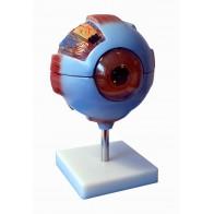 Model anatomiczny oka -częściowy