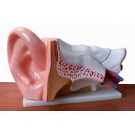 Model anatomiczny ucha 4 - częściowy